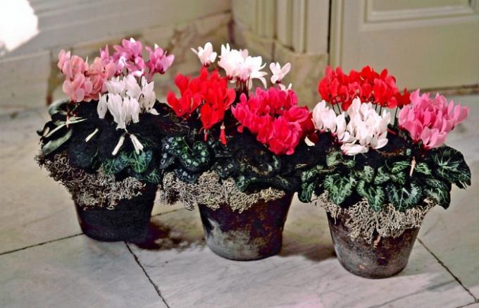 Brambořík v chladném prostoru pokvete až do jara