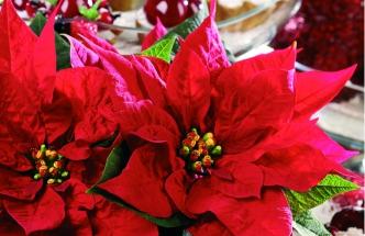 Symbol Vánoc aneb příběh vánoční hvězdy