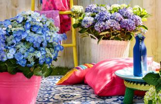 Hortenzie kvetou od července až do pozdního podzimu, kdy se barva květů změní na tmavě červenou až hnědou a jsou tedy ideální k vysušení a použití do květinových vazeb