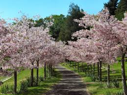 Zásadní pro dobrý růst stromku je vysazení ve správné výšce – stromky zasazené příliš hluboko zakoření z naštěpované části a oddálí se tím jejich plodnost.