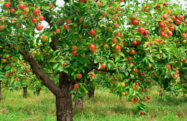 Ovocné stromy se vysazují v listopadu