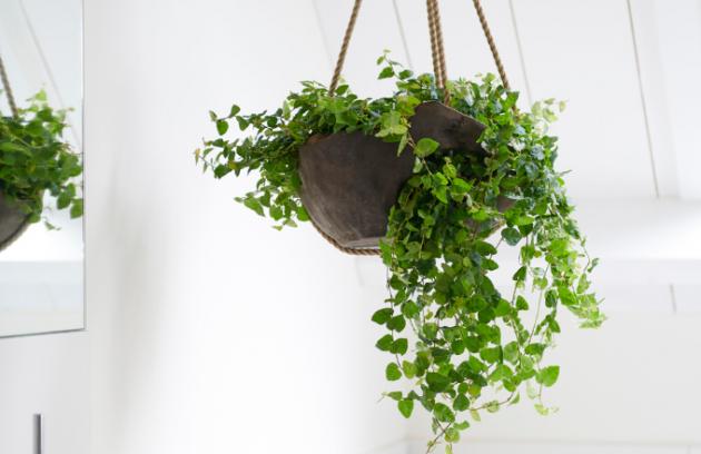 Ficus pumila s drobnými lístečky má ráda vyšší vlhkost, dobře se jí bude dařit v koupelně