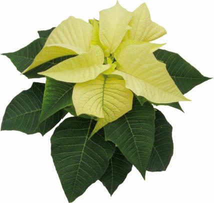 Vánoční hvězdu obvykle pořizujeme vobdobí adventu. Často plní úlohu milého dárku pro naše blízké. Pokud si vybereme zdravou rostlinu a dopřejeme jí odpovídající péči, nic nebrání tomu, aby byla chloubu našeho domova i po Vánocích.